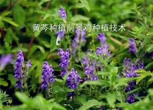 现在黄芩种植前景如何?人工种植技术步骤介绍!